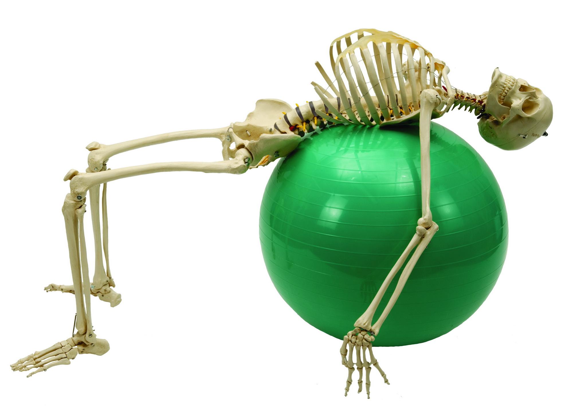 Anatomiemodell Skelett