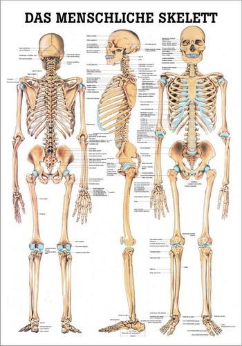 Das menschliche Skelett - Anatomische Lehrtafel | Fairplay Sporthandel