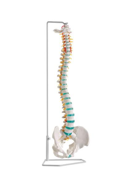 flexible Wirbelsäule mit Bandscheibenvorfall