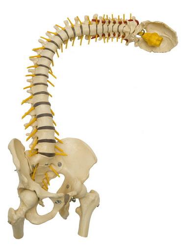 Anatomiemodell Wirbelsäule