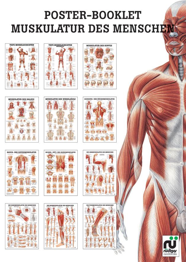 Großartig Muskelanatomie Plakat Galerie - Anatomie Ideen - finotti.info