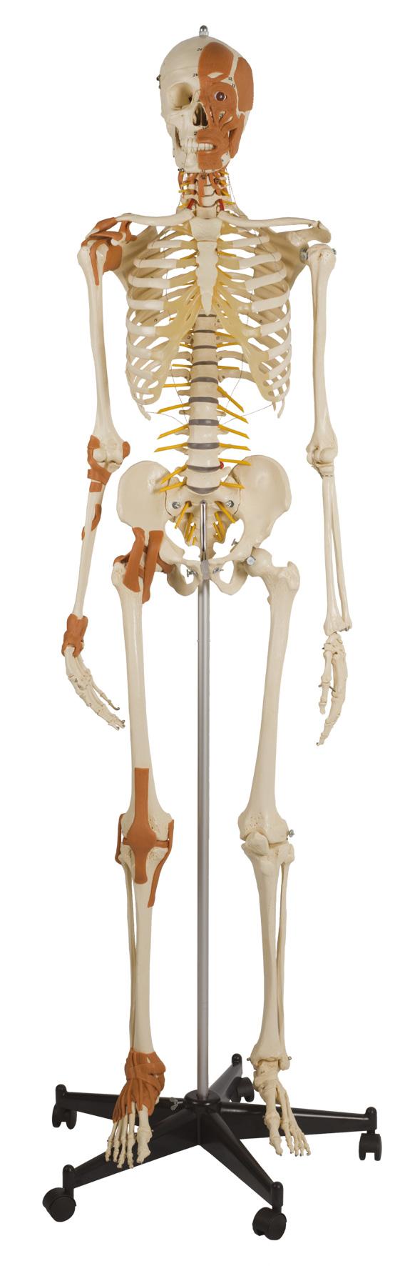 Flexibles Skelett m. Gelenkbändern   Fairplay Sporthandel