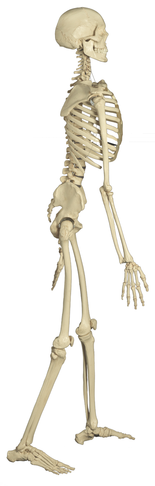 Skelett Modell Rüdiger Anatomie